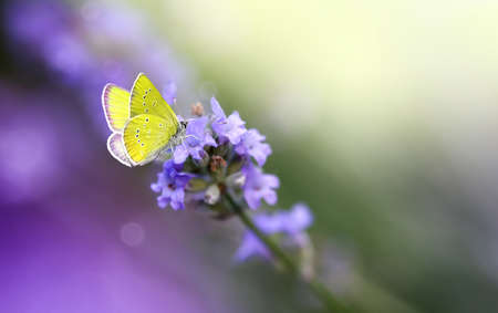 Yellow Butterfly on Lavender flower close-up, macro. Banco de Imagens