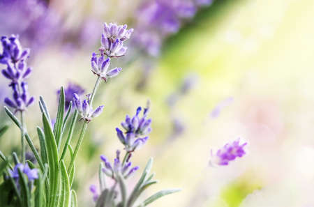 Blooming Lavender flowers on sunny day background