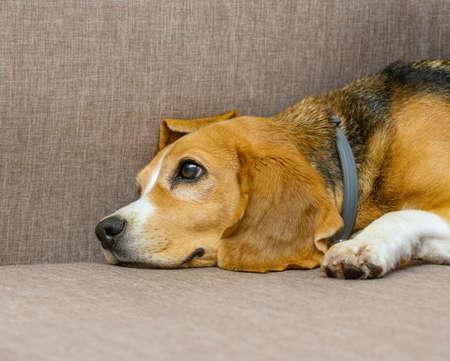 Beagle dog female lying on sofa sofa