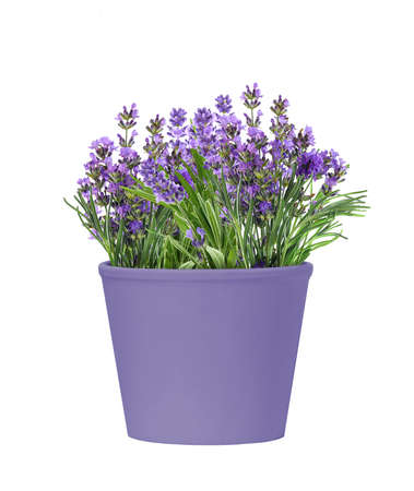 Pot of blooming lavender flowers isolated on white background
