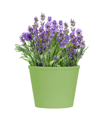 Green Pot of blooming lavender flowers isolated on white background Banco de Imagens