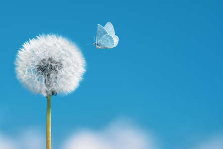 White dandelion with flying butterfly on blue sky background. Copy space Banco de Imagens