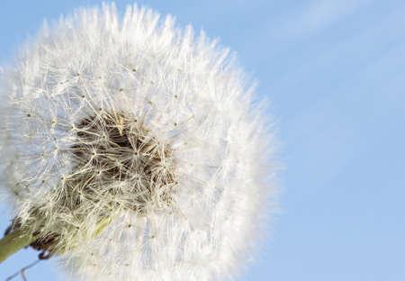 White dandelion on a blue sky background. Copy space Banco de Imagens