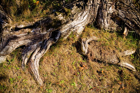 gnarled: Gnarled and weatherbeaten, partially exposed roots of an old tree. Stock Photo