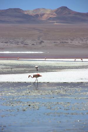 borax: Flamingos at the colourful Laguna Colorada on the Altiplano high plateau, Bolivia