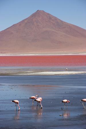Flamingos at the colourful Laguna Colorada on the Altiplano high plateau, Bolivia