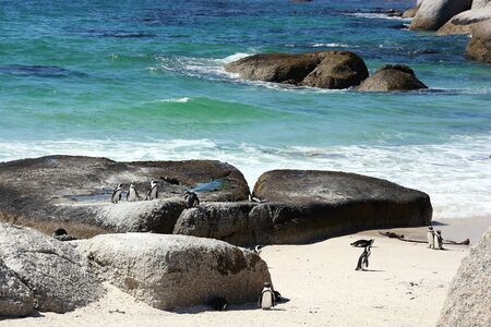 African penguins at Bolders Beach, Cape Town, South Africa