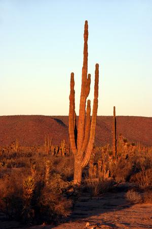 Desert Sunset with Silhouettes of Cactus in the Sonoran Desert, Baja California Norte, Mexico Stock Photo