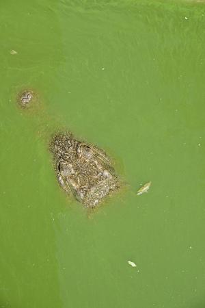 Crocodile in green water (algae), Hluhluwe, South Africa Stock Photo