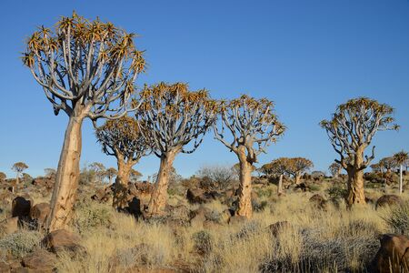 Quiver Trees, Keetmanshoop, Namibia Stock Photo