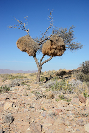 Weaver bird nest, Namibia Stock Photo