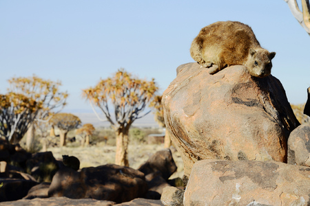 Rock hyrax, Quiver Tree Forest, Namibia