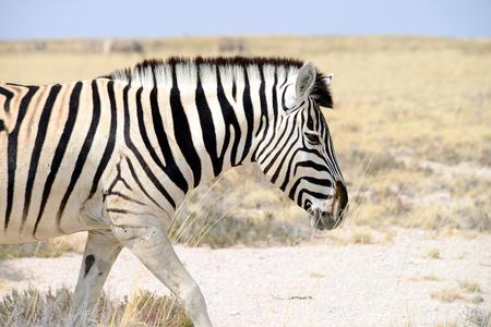 Zebras, at Namibia