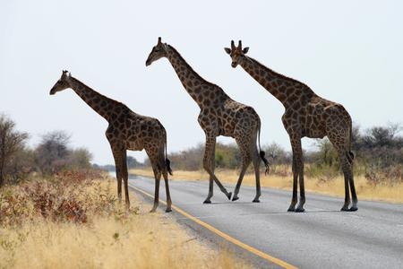 Giraffes crossing the road, Etosha National Park, Namibia Stock Photo