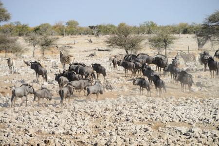Gnus, Etosha National Park, Namibia