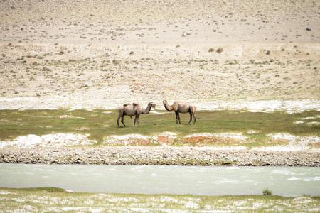 Free running camels in the Wakhan valley, Pamir Mountain Range, Tajikistan