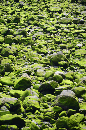 Moss and algae on stones in river Urumea Itsasadarra, San Sebastian, Spain, Europe