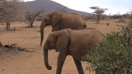Herd African Adult Elephants Goes Through the Arid Brown Earth Samburu Reserve