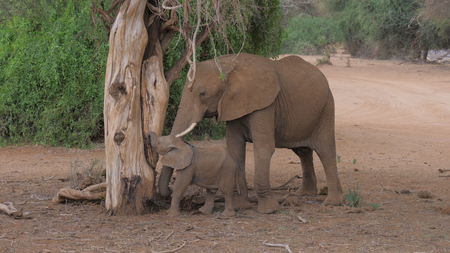 Adult African Elephant With A Baby From A Dead Tree Eat Ants In Samburu