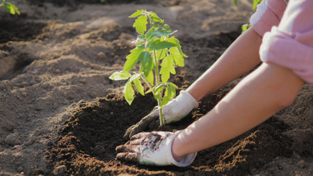 A Farmers Hands Hoeing The Soil Around The Tomato Seedling Stok Fotoğraf