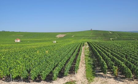 champagne region: Vineyard in Champagne Region near Epernay,France