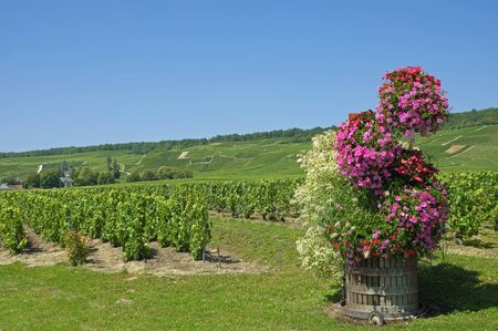 champagne region: Vineyard in Champagne Region with Village of Oger in the Background,,France