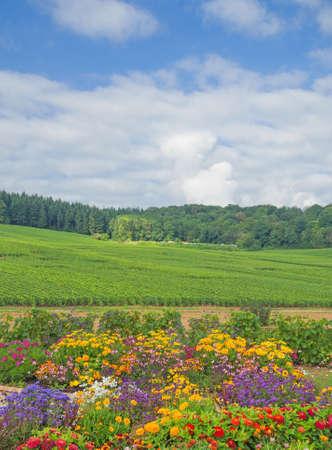 champagne region: Vineyard of Cramant near Epernay,Champagne region,France Stock Photo