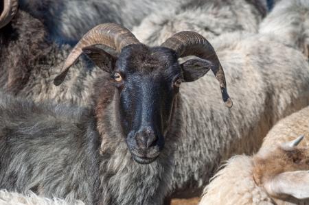 Regional Sheep von Lüneburger Heide genannt Heidschnucke, Niedersachsen, Deutschland Lizenzfreie Bilder
