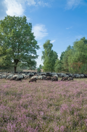 regional Sheep from Lueneburg Heath called Heidschnucke,Lower Saxony,Germany photo