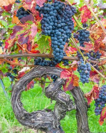 Grapevine Rotwein an deutschen Weinstraße, Rheinland-Pfalz, Deutschland Lizenzfreie Bilder