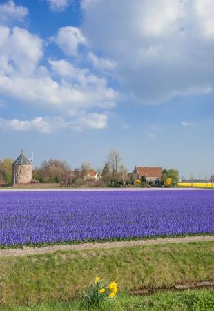 lisse: Bloem veld in de buurt van Lisse Keukenhof tuinen, Nederland