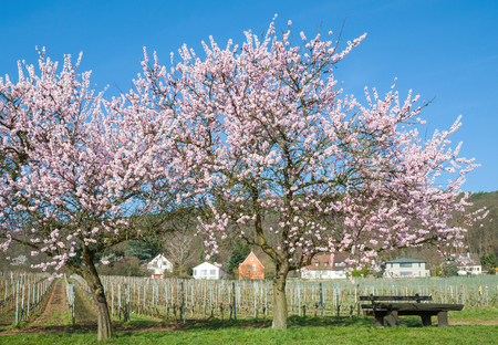 Almond Blossom at german Wine Route in Palatinate,Germany