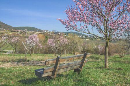 Mandelblüte im Deutschen Weinstraße in Gimmeldingen, Pfalz, Deutschland