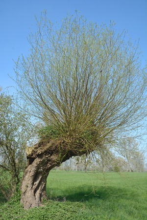 salix alba: White Willow or Salix Alba at Lower Rhine region,Germany