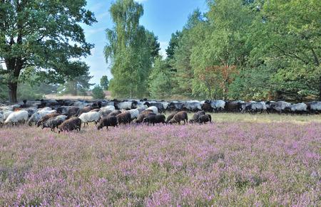 moorland: Flock of Moorland Sheep Lueneburg Heath Germany