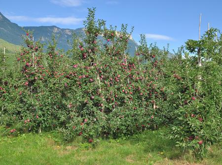 alto adige: Apple Plantation near Merano,South Tirol,Trentino,Alto Adige,Italy