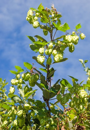 Hops, Humulus lupulus