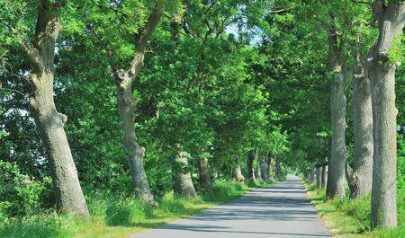 mecklenburg  western pomerania: Alley,Ruegen Island,baltic Sea,Germany