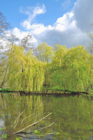 salix alba: Weeping Willow Tree at Nette River,Rhineland,Germany