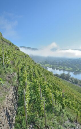 mosel: Vineyard called Valwiger Berg near Cochem in Mosel Valley,Germany