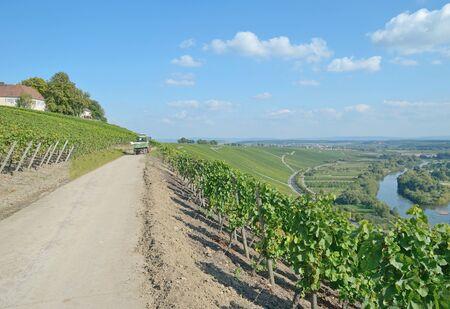 river main: Vineyard Landscape at River Main near Volkach in lower Franconia,Bavaria,Germany