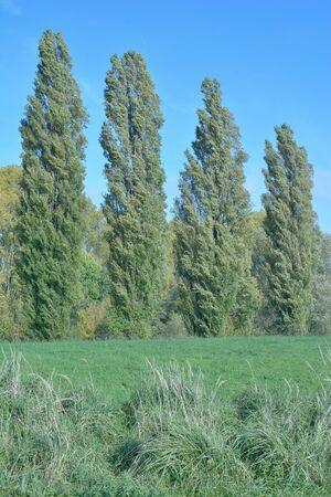 Populus nigra italica or Lombardy Poplar