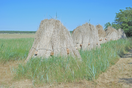 thatched roof: Reed for thatched Roof on Ruegen Island,baltic Sea,Germany