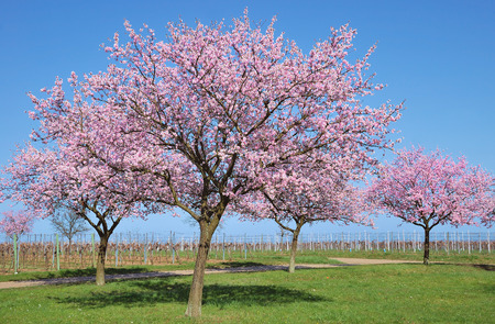 Almond Blossom in Palatinate,Germany