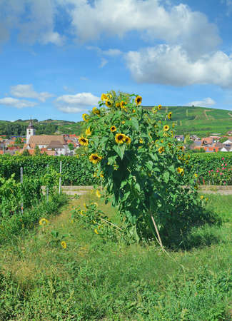 Kaiserstuhl wine region near Vogtsburg,Black Forest,Germany