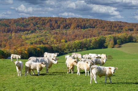 Landscape with Charolais Cattle (Bos taurus) Standard-Bild