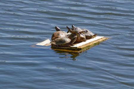 sunbathing Turtles on Lake in Bergisches Land,Germany