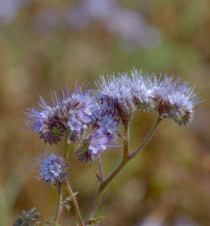 scorpionweed (Phacelia tanacetifolia) Standard-Bild