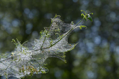 ermine moth (yponomeutidae) web with larva Standard-Bild