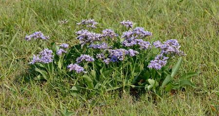 Sea-Lavender(Limonium)in North Frisia,North Sea,schleswig-Holstein,Germany